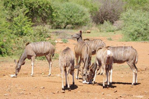 south africa  wildlife  buck