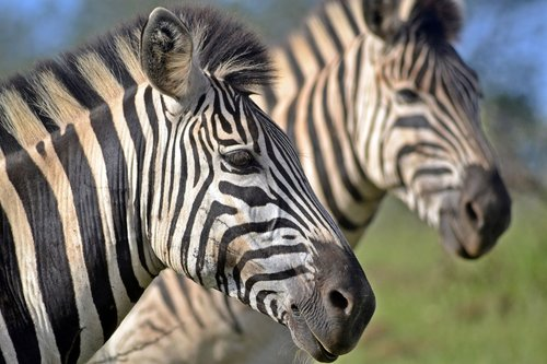 south african wildlife  umfolozi game reserve  zebra