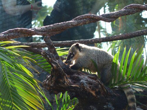 south american coati coati animal