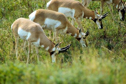 south dakota antelope  antelope  pronghorn