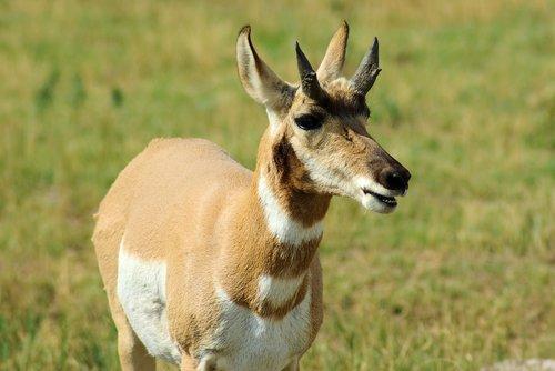 south dakota pronghorn  antelope  pronghorn
