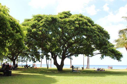 south island hawaii big tree