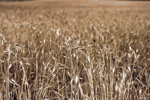 southern france in wheat field france