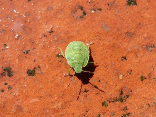 southern green i pentatomid green prasina