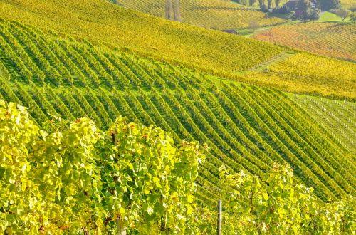 southern styria wine vine