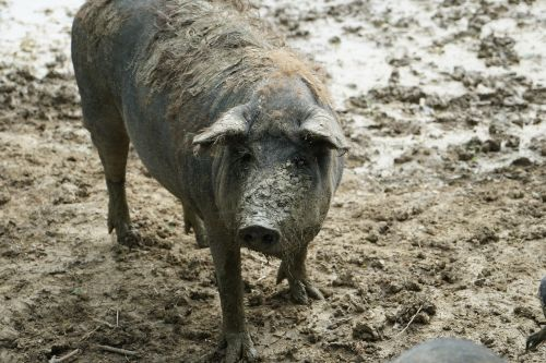 sow domestic pig old breed