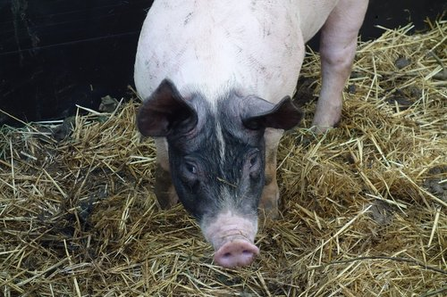 sow  pig  animals