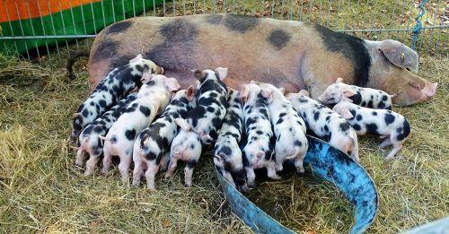 sow piglet animals