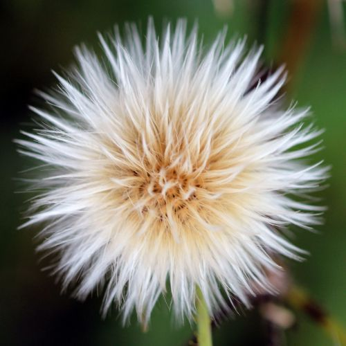 sow thistle seed head nature