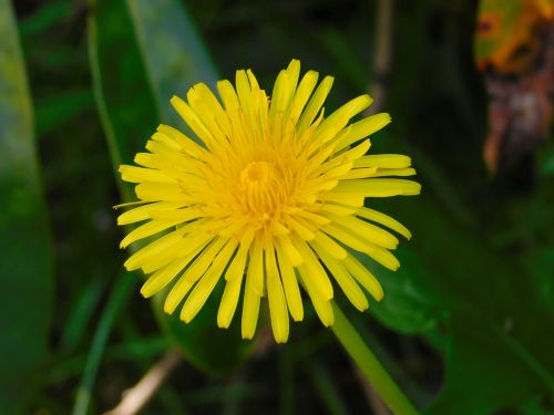 sow-thistle yellow flower spring flower