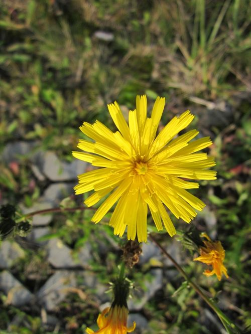sow thistle hare thistle hare lettuce