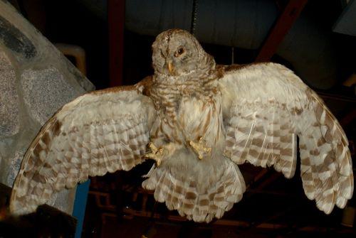 sowa bird owl