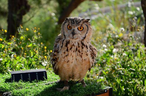 sowa bird eyes