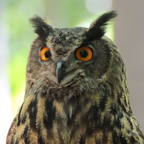 sowa bird nature