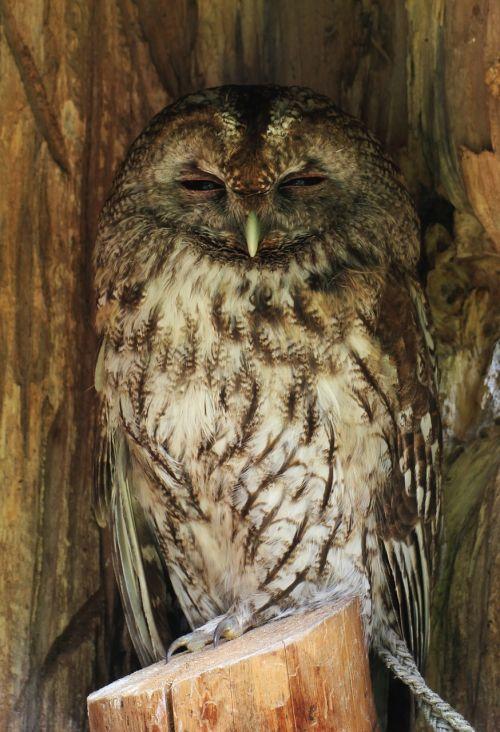 sowa bird owls