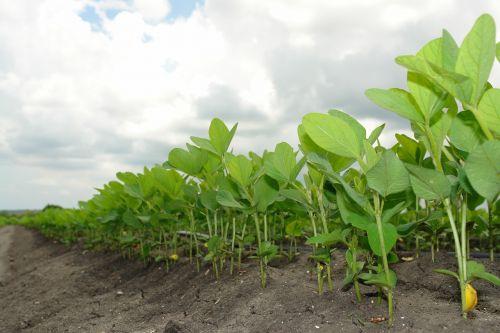soy soybean plants