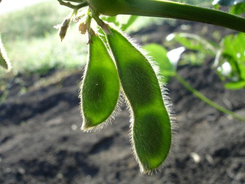 soy soybean nature