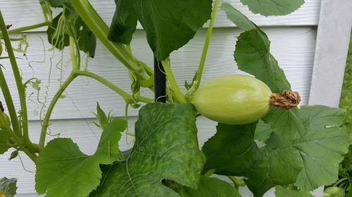 spaghetti squash squash garden