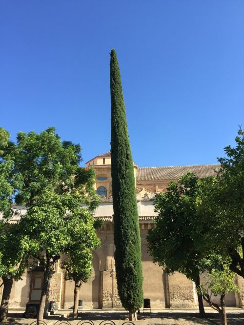 spain cordoba tree