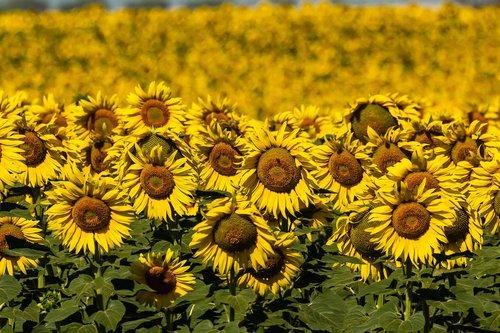 spain  sunflowers  summer