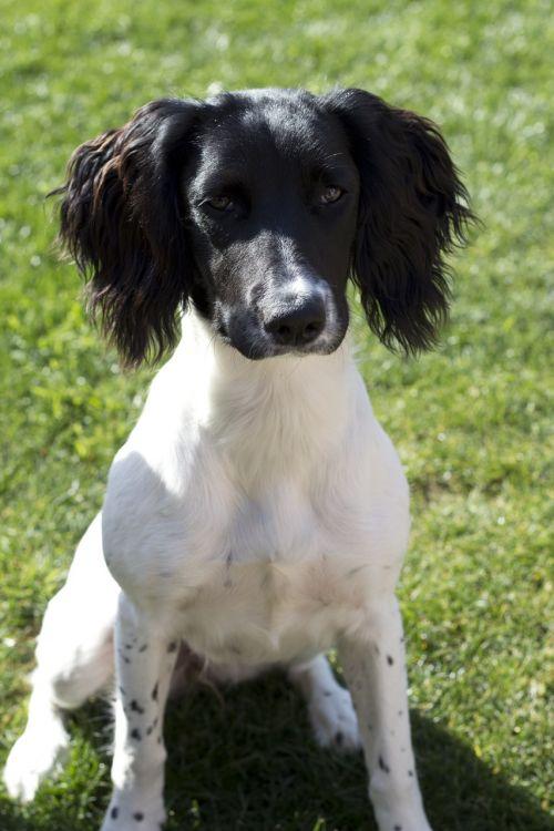 spaniel dog black