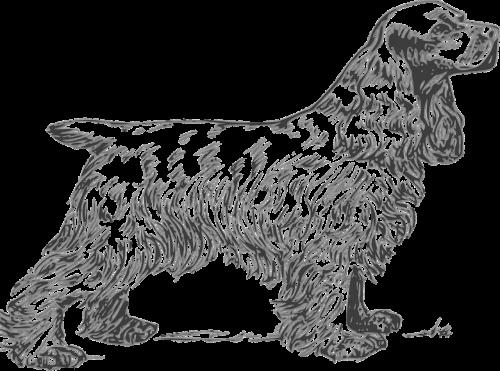 spaniel breed dog