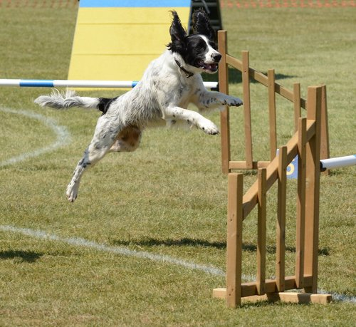 spaniel dog  agility  fitness