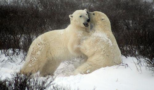 sparing polar bears fighting polar bears churchill canada