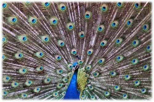 Sparkling Peacock Tail