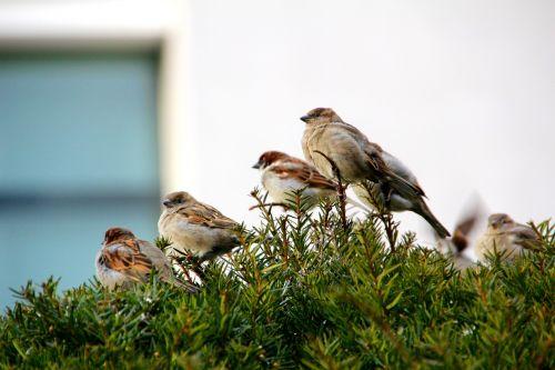 sparrow songbird sperling