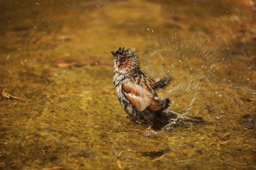 sparrow sperling wet