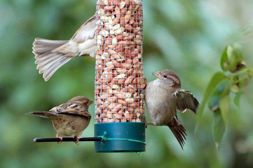 sparrow sparrows sperling