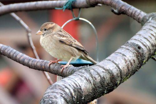 sparrow nature songbird