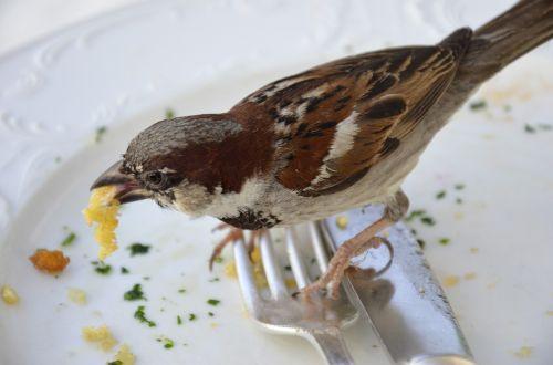 sparrow fink eat