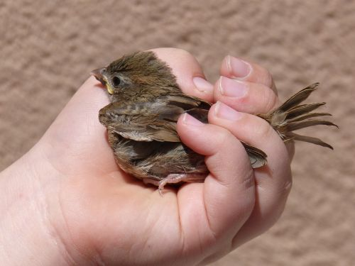 sparrow chick hand