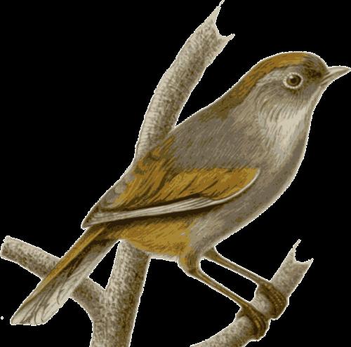 sparrow bird feathers