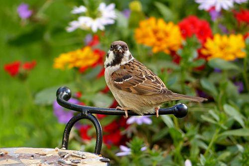 sparrow passer domesticus bird