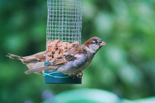 sparrow sperling house sparrow