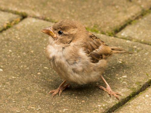 sparrow cheeky sperling