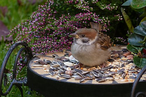 sparrow sperling passer domesticus