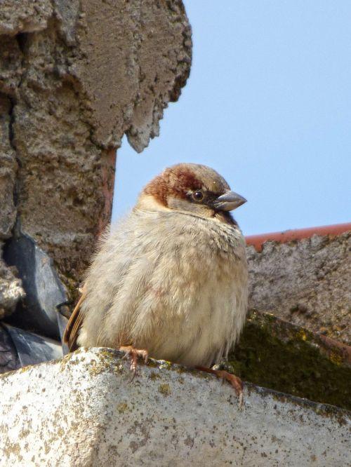sparrow roof drain