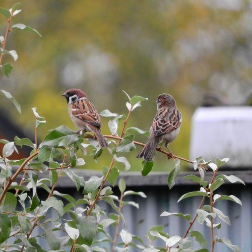 sparrow passer montanus eurasian tree sparrow