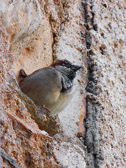 sparrow bird wall