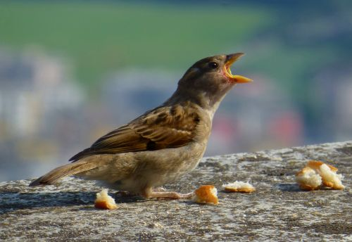 sparrow young hungry