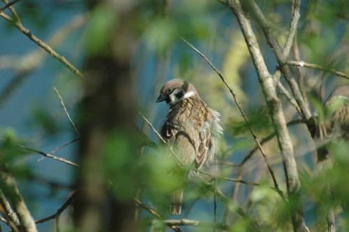 sparrow sperling bird
