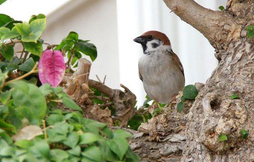 sparrow birds bougainvillea