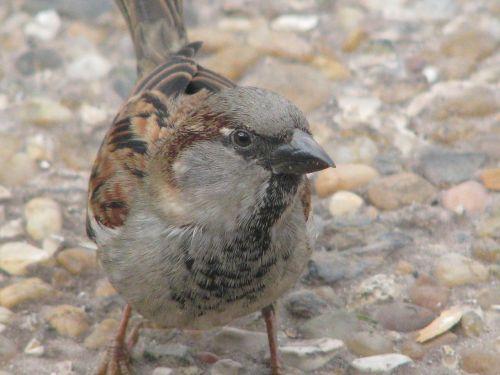 sparrow bird close-up