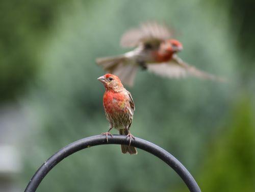 sparrow sparrows bird