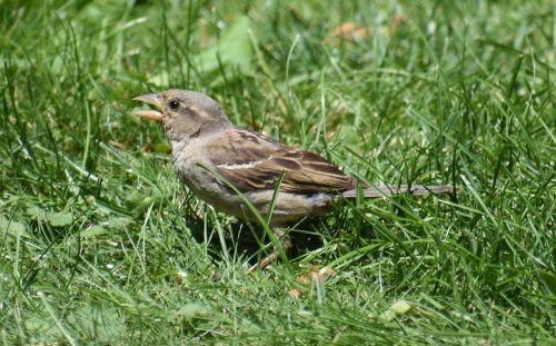 sparrow brown sparrow bird