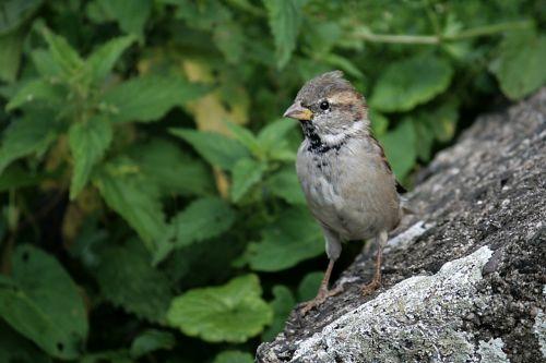 sparrow bird sparrows